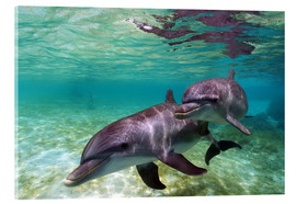 Akrylglastavla  Two bottlenose dolphins from the beaches of the Caribbean - Stuart Westmorland