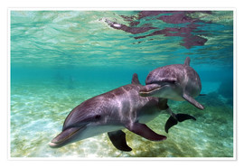 Poster  Two bottlenose dolphins of the Caribbean - Stuart Westmorland