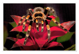 Premiumposter  Red-knee tarantula - Dennis Flaherty