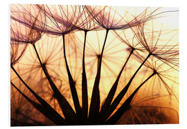 PVC-tavla  Dandelion in the sunset II - Julia Delgado