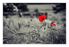 Premiumposter Red poppies in a cornfield