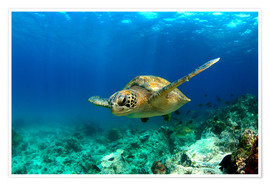 Premiumposter  Green sea turtle under water - Paul Kennedy