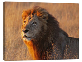 Canvastavla  Lion in the evening light - Africa wildlife - wiw