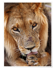 Premiumposter  View of the lion - Africa wildlife - wiw