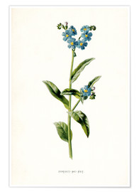 Premiumposter Forget-Me-Not