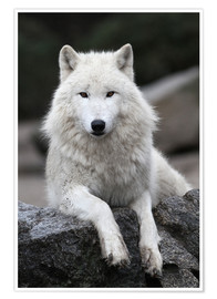 Premiumposter  the wolf - WildlifePhotography
