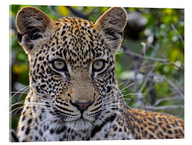 Akrylglastavla  The leopard - Africa wildlife - wiw