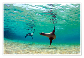 Premiumposter  Sea lion lagoon Galapagos Islands - Paul Kennedy