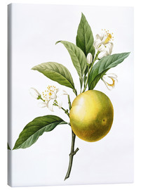 Canvastavla  Orange Tree - Pierre Joseph Redouté