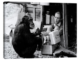 Canvastavla  Jane Goodall with chimp David Greybeard