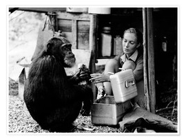 Premiumposter  Jane Goodall with chimp David Greybeard