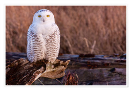 Premiumposter  Snowy owl on a tree - Art Wolfe