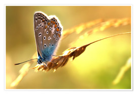Premiumposter  Butterfly in late summer - Julia Delgado