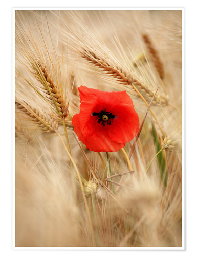 Premiumposter Red poppy in wheat field 2