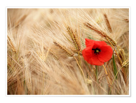 Premiumposter Red poppy in wheat field
