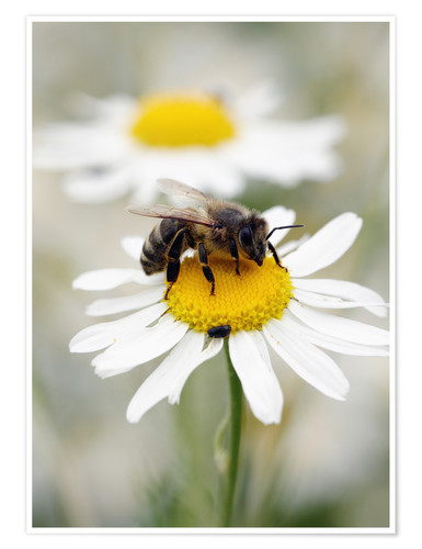 Premiumposter Bee on the camomile lawn