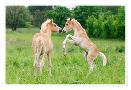 Premiumposter Haflinger horses foals playing and rearing