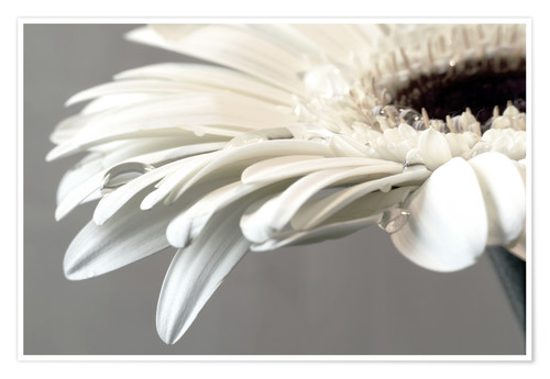 Premiumposter White Gerbera with drops