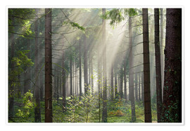 Premiumposter Sun rays in the forest