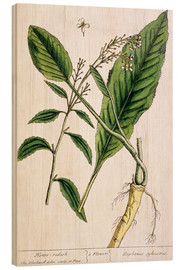 Trätavla  Horseradish, plate 415 from 'A Curious Herbal', published 1782 - Elizabeth Blackwell