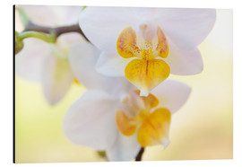 Aluminiumtavla  White orchids against soft yellow background - Julia Delgado