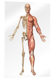 Akrylglastavla  The human skeleton and muscular system, front view - Stocktrek Images