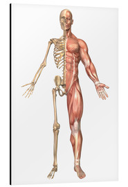 Aluminiumtavla  The human skeleton and muscular system, front view - Stocktrek Images