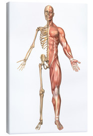 Canvastavla  The human skeleton and muscular system, front view