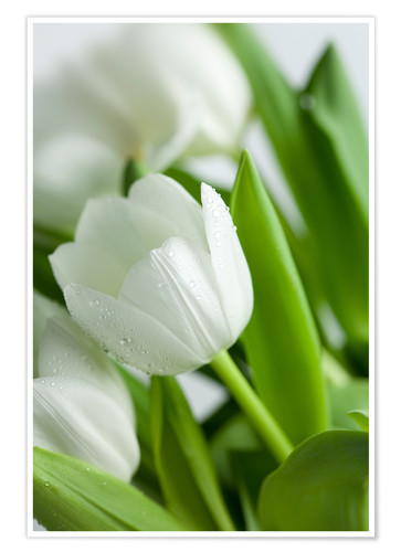 Premiumposter White Tulips 02