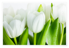 Premiumposter White Tulips 04