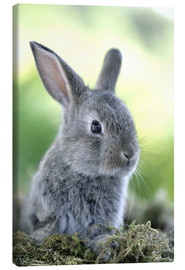 Canvastavla  Grey rabbit - Greg Cuddiford