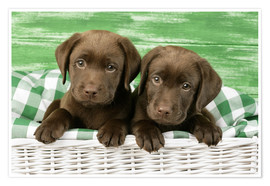 Premiumposter Chocolate Labrador puppies