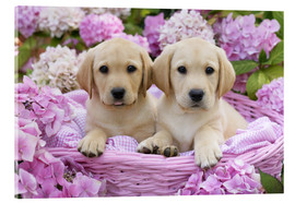 Akrylglastavla  Labrador puppies in a basket - Greg Cuddiford