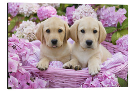 Aluminiumtavla  Labrador puppies in a basket - Greg Cuddiford