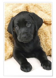 Premiumposter Black labrador puppy