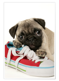 Premiumposter  Pug pup and shoe - Greg Cuddiford