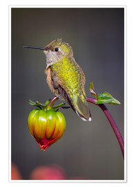 Premiumposter  Hummingbird sits on flower bud - Fred Lord