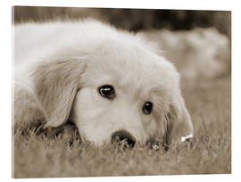 Akrylglastavla  Golden Retriever cute puppy, monochrom - Katho Menden