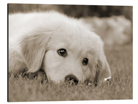 Aluminiumtavla  Golden Retriever cute puppy, monochrom - Katho Menden