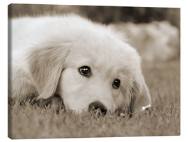 Canvastavla  Golden Retriever cute puppy, monochrom - Katho Menden