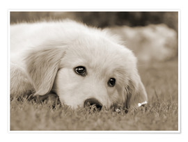 Premiumposter  Golden Retriever cute puppy, monochrom - Katho Menden
