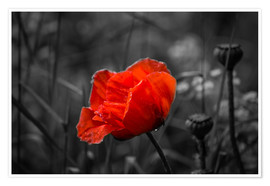 Premiumposter Red poppy on black and white background