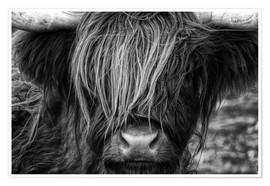 Poster  Skotsk highland cattle - Martina Cross