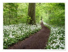 Premiumposter Path through the Forest full of Wild Garlic