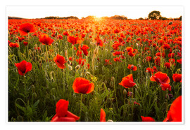 Premiumposter Poppy field with sunset