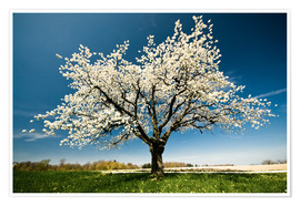 Premiumposter Single blossoming tree in spring