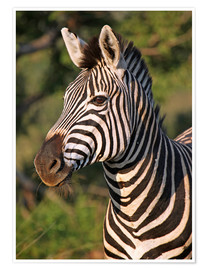 Premiumposter  Zebra in Africa, wildlife - wiw