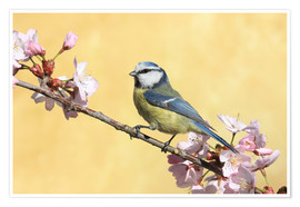 Premiumposter Blue tit on a branch of cherry