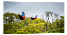 Akrylglastavla  Green-winged Macaws on journey - Alex Saberi