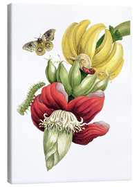 Canvastavla  Flowering banana and Automeris - Maria Sibylla Merian